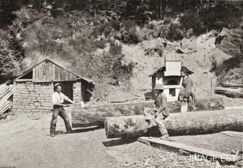 Ecorçage de troncs (Vosges)