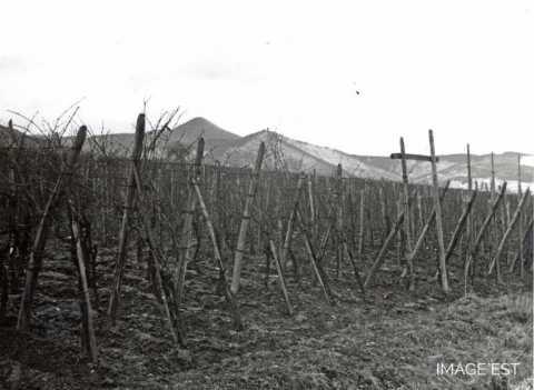 Piquets de vigne (Ribeauvillé)
