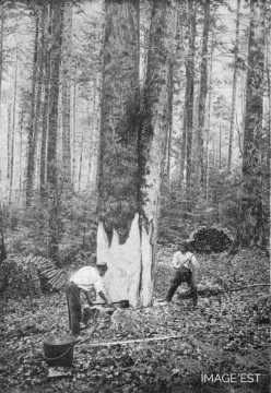 Préparation d'un arbre (Vosges)